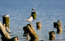 Free Terns Royalty Free Stock Images - 2715749