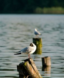 Free Terns Royalty Free Stock Image - 2715766