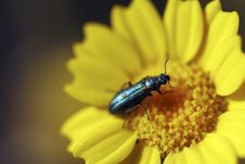 Free Green Bug In Yellow Daisy Stock Image - 2716681