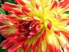 Dahlia Royalty Free Stock Photos