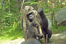 Free Mother Gorilla With Child Royalty Free Stock Photos - 2718298