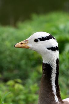 Free Close-up Of Duck In Meadow Stock Photography - 2719072