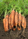 Free Bunch Of Fresh Carrots On The Soil Royalty Free Stock Photography - 27106897