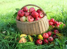 Free Healthy Organic Apples In The Basket Stock Photography - 27107002
