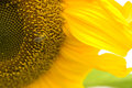 Free Bee On Sunflower Pollination Garden Flowers Royalty Free Stock Photography - 27113577