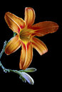 Free Orange Lily Royalty Free Stock Photos - 27118748