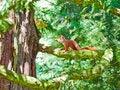 Free Red Squirrel On A Tree, Mainau Island Royalty Free Stock Photo - 27118985