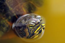 Free Turtle In Water Stock Photos - 27110093