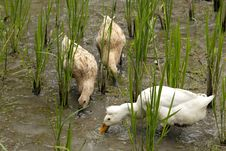 Free Ducks Pecking At A Rice Paddy Royalty Free Stock Photos - 27110648
