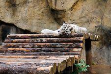 Free Sleeping White Tiger &x28;Panthera Tigris&x29;. Stock Image - 27110831