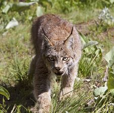 Free Canadian Lynx Stock Images - 27113114