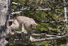 Free Canada Lynx Royalty Free Stock Photo - 27113125