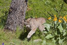 Free Canadian Lynx Rufus Royalty Free Stock Photo - 27113135