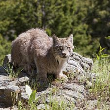 Free American Lynx Royalty Free Stock Photos - 27113138
