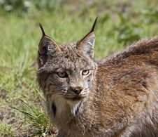 Free Canadian Lynx In Western USA Royalty Free Stock Photography - 27113157