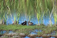 Free Two Ducks In Marshy Wetlands Royalty Free Stock Photography - 27116207