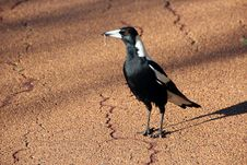 Australian Magpie  Gymnorhina Tibicen Royalty Free Stock Photography