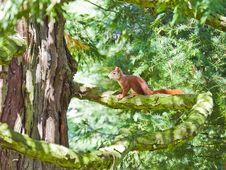 Red Squirrel On A Tree, Mainau Island Royalty Free Stock Photo