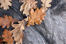 Free Oak Leaves Royalty Free Stock Photography - 27119867