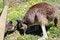 Free Australian Brown Kangaroos  In Field Stock Image - 27117211