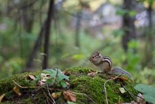 Free Chipmunk Stock Image - 27124961