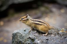 Free Chipmunk Royalty Free Stock Photo - 27124995