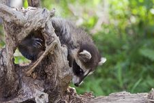 Free Raccoon Procyon Lotor In USA Stock Photos - 27126493