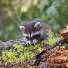 Free Raccoon Procyon Lotor In Woods Royalty Free Stock Photography - 27126677