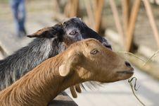 Free Goats Stock Photos - 27126683