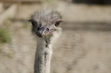 Free Ostrich Stock Photos - 27126763