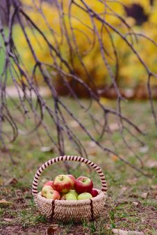 Free Apples In The  Park Royalty Free Stock Photo - 27128585