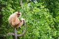 Free White Cheeked Gibbon Royalty Free Stock Photo - 27132815