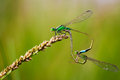 Free Common Blue Damselflies Perched On A Leaf Royalty Free Stock Image - 27132996