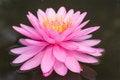 Free Pink Lotus Blossoms Royalty Free Stock Photo - 27133065