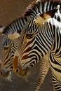 Free Zebra Stock Photo - 27133340