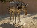 Free Zebra Royalty Free Stock Images - 27133439