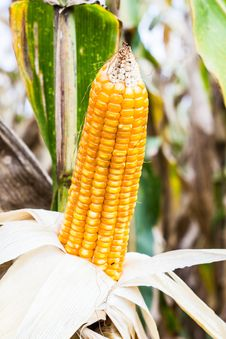 Free Yellow Corn Royalty Free Stock Photo - 27132335