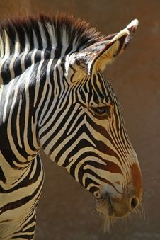Free Zebra Stock Photo - 27133350