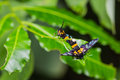 Free Euchormiid Butterfly Mating Royalty Free Stock Image - 27142336