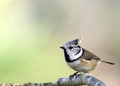 Free Bird Crested Tit &x28;Parus Cristatus&x29; Royalty Free Stock Images - 27144709
