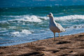 Free Seagull On The Beach Stock Images - 27147934