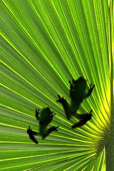 Free Frogs On Leaf Stock Photography - 27140862