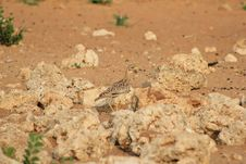 Free African Spotted Dikkop Stock Photography - 27145872
