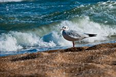 Free Seagull On The Beach Stock Images - 27147924