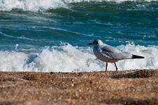 Free Seagull On The Beach Royalty Free Stock Photos - 27147938