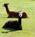 Free Brown And Black Alpaca Stock Photos - 27155843