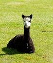 Free Black Alpaca In A Field Stock Photos - 27155923
