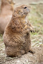 Free Black-tailed Prairie Dog Stock Images - 27159524