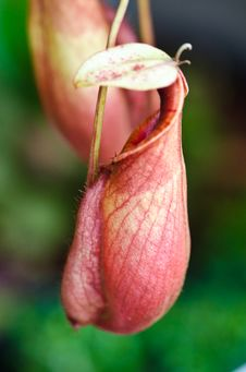Free The Nepenthes Royalty Free Stock Photo - 27155365