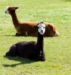 Free Brown And Black Alpaca Stock Photos - 27155843
